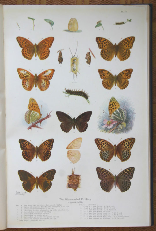 Natural History Of British Butterflies Frohawk