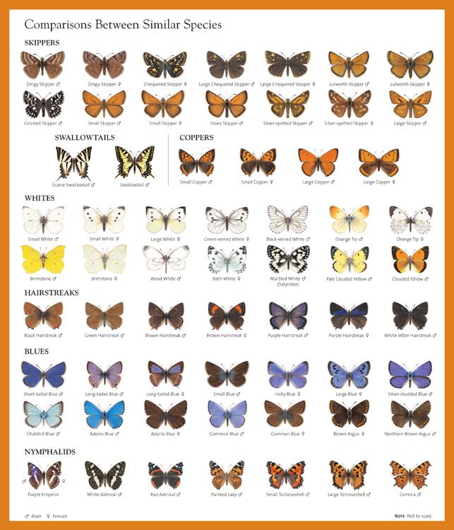 British Butterflies Identification Chart - photo#8